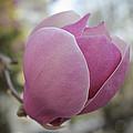 Joyful Pink Magnolia by Georgeta Blanaru