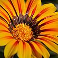 Jubilant Daisy by Deb Halloran