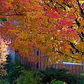 Judge Thieler Sugar Maple, Quincy California by Tirza Roring
