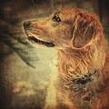 Golden Retriever by Zapista