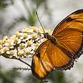 Julia Butterfly by Adam Romanowicz
