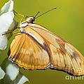 Julia Butterfly by Millard H. Sharp