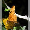 Julia Butterfly by Walter Herrit