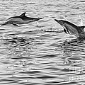 Jump For Joy - Common Dolphins Leaping. by Jamie Pham