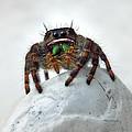 Jumper Spider 2 by Duane McCullough