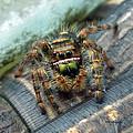 Jumper Spider 3 by Duane McCullough