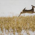 Jumping Doe In Corn Field by Crystal Heitzman Renskers