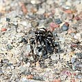 Jumping Spider Face On by Doris Potter