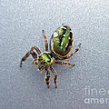 Jumping Spider - Green Salticidae by Mother Nature