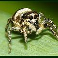 Jumping Spider by Michaela Preston