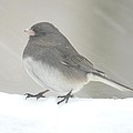 Junco 2 by Richard Bryce and Family