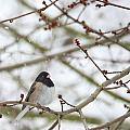 Junco In Snow by Rebecca Cozart