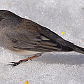 Junco In The Deep Snow by Mary Anne Williams
