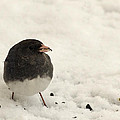Junco In The Snow by Jeff Galbraith