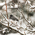 Junco In The Snow by Kerri Farley