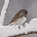 Junco In The Snow by Theo OConnor