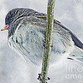 Junco On A Twig by Debbie Portwood