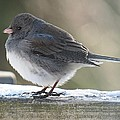 Junco On Board by MTBobbins Photography