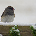 Junco On The Railing by Shelly Gunderson