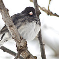 Junco Posing by Shelly Gunderson