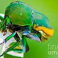 June Bug Fig Beetle by Michael Moriarty