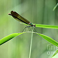 June Damselfly  by Neal Eslinger