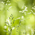 June Green Grass Flowering by Elena Elisseeva