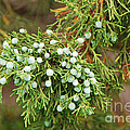 Juniper Berries by Mary Carol Story