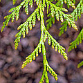 Juniper Leaf by Tikvah's Hope