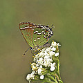 Juniper Or Olive Hairstreak Butterfly - Callophrys Gryneus by Mother Nature