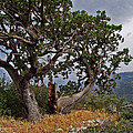 Juniper Tree On The Edge Of The Verde Valley by Tom Janca