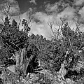 Juniper Trees At The Ghost Ranch Black And White by Greg Kluempers