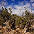 Juniper Trees At The Ghost Ranch Color by Greg Kluempers