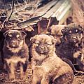 Junkyard Dogs by Thomas Dilworth