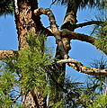 Just A Tangle Of Pine Tree Branches by Kirsten Giving