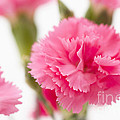 Just Carnations by Anne Gilbert