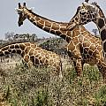 Just Giraffes by Wendy White