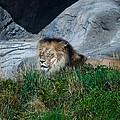 Just Lion Around by Rich Priest