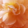 Just Peachy Begonia Flower by Jennie Marie Schell