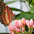 Just Pink Butterfly by Shari Nees