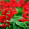 Just Red by Kaye Menner