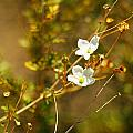 Just Two Little White Flowers by Jeff Swan