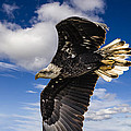 Juvenile Bald Eagle by Jack R Perry