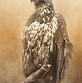 Juvenile Bald Eagle by Pam  Holdsworth