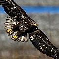 Juvenile Bald Eagle by Shari Sommerfeld