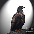 Juvenile Bald Eagle Year 1 by Gena Weiser