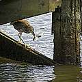 Juvenile Black Crowned Night Heron by Brian Wallace