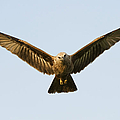 Juvenile Brahminy Kite Hovering by Tim Gainey