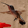 Juvenile Broadtale Anna Hummingbird Landing On The Perch by Jay Milo