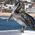 Juvenile Brown Pelican by Susan Wiedmann